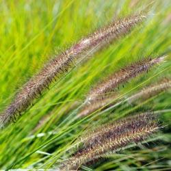 Grasses_4