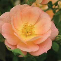 roses_5