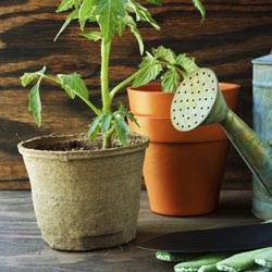 Tomato plant and garden tools