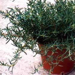 herbs_companion_2