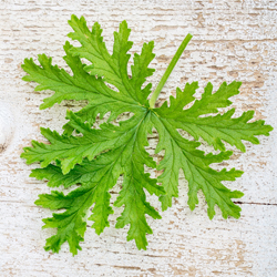 citronella leaf on grunge wood