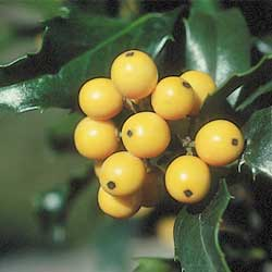 Plants With Berries Add Winter Interest To The Garden And Also Attract Many Diffe Types Of Birds But Which Are Best For Your Yard How Can