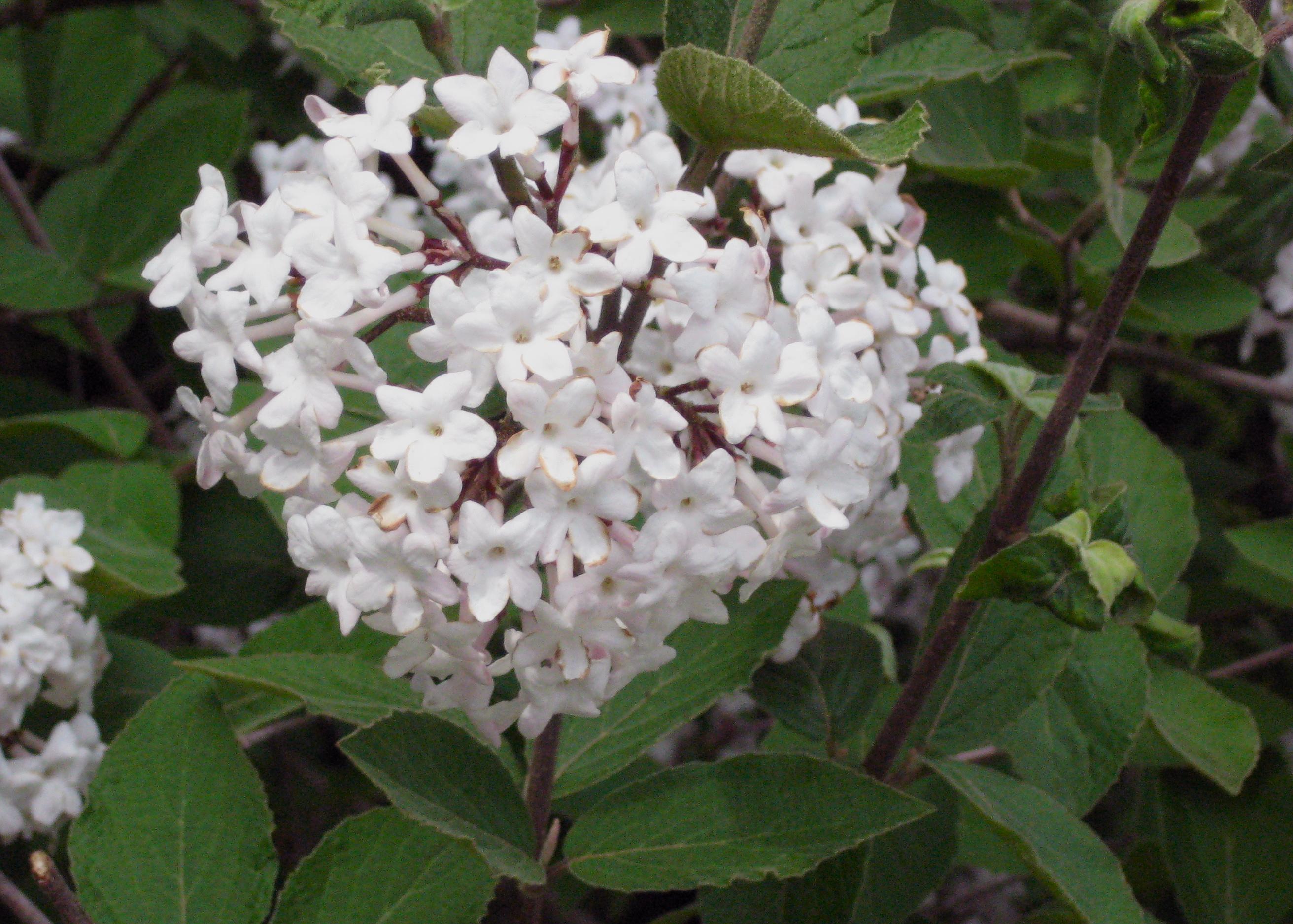 Korean Spice Viburnum Closeup Bayport Flower
